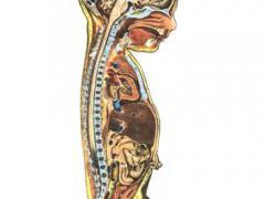 развитие пищеварительной системы человека