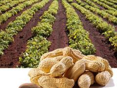 жареный арахис, польза и вред