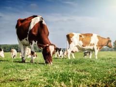 пармезан из коровьего молока