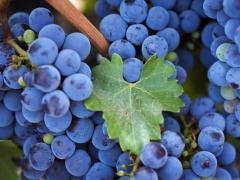 виноград винных сортов