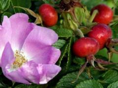 цветет шиповник обыкновенный