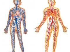 артерии и вены