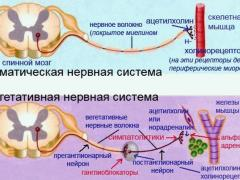соматическая и вегетативная нервная система