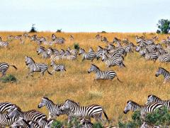 физиологические адаптации, примеры, зебры