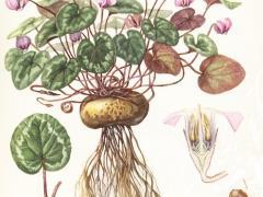 корень цикламена лечебные свойства