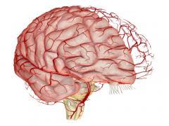 сосудистая система мозга