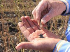 выращивание кунжута, как выглядит кунжут на фото