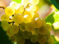 виноград белых и розовых сортов