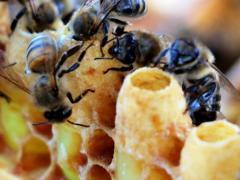 Маточное пчелиное молочко и мед для лечения увеличенной печени