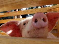 Чем страшен свиной грипп?