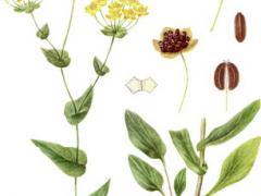 Трава володушка и ее использование в народной медицине