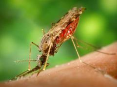 Малярия является опасным инфекционным заболеванием