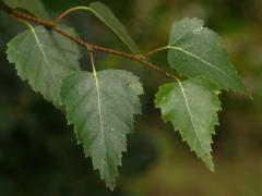 Березовые листья популярны в уходе за волосами