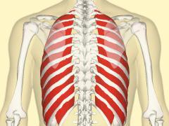 Межреберные мышцы отвечают за функцию дыхания
