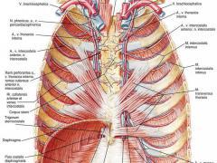 Межреберные мышцы контролируют ряд движений