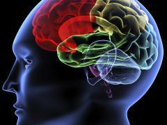 Брахиоцефальный ствол снабжает головной мозг