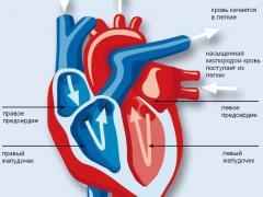 Сердце человека состоит из четырех отделов