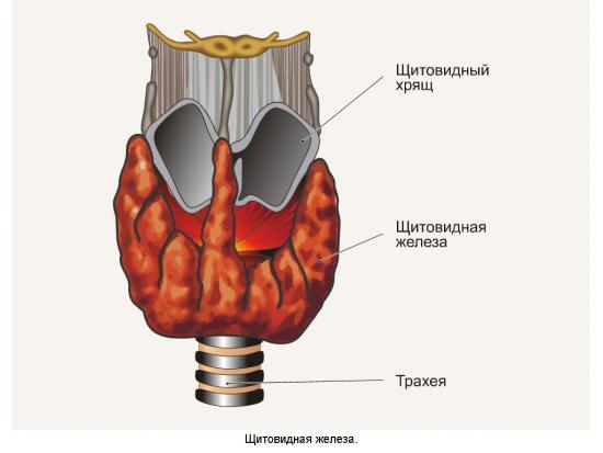 Где щитовидная железа расположена