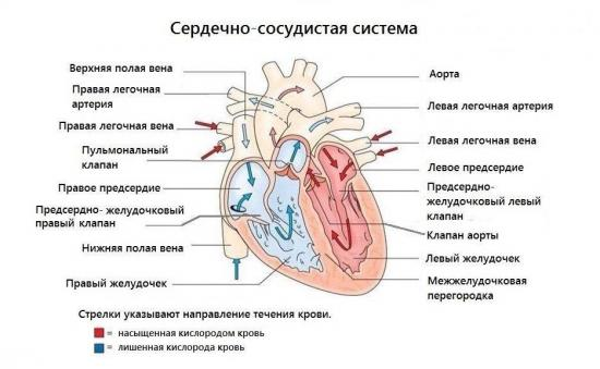 строение сердечно сосудистой системы человека