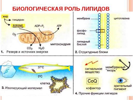 роль липидов