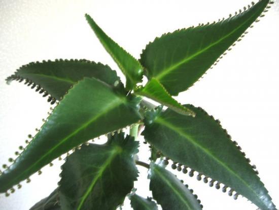растение каланхоэ