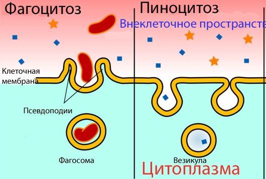 клеточная мембрана это