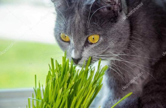 проращивание овса для кошек