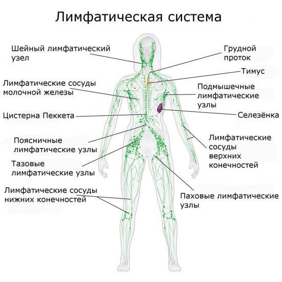 лимфатическая система челоаека