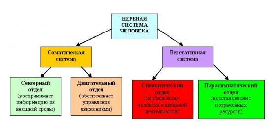 нервная система из чего состоит