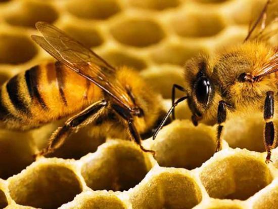 физиологические адаптации, примеры, пчелы