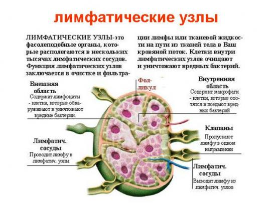 лимфоузлы и их функции