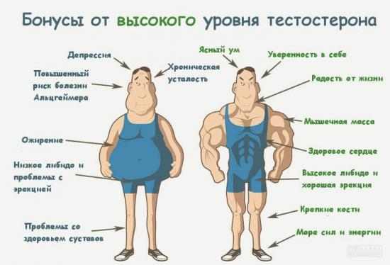 функции тестостерона в организме