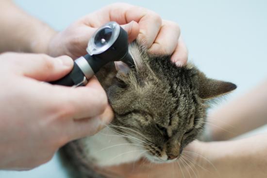 ушной клещ у кошек