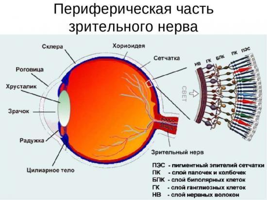 функции зрительного нерва