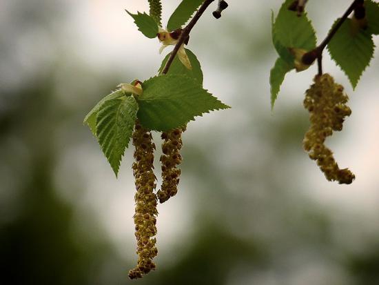 Существует множество рецептов заваривания березовых листьев