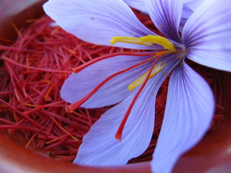 какие свойства пурпурного чая чанг-шу