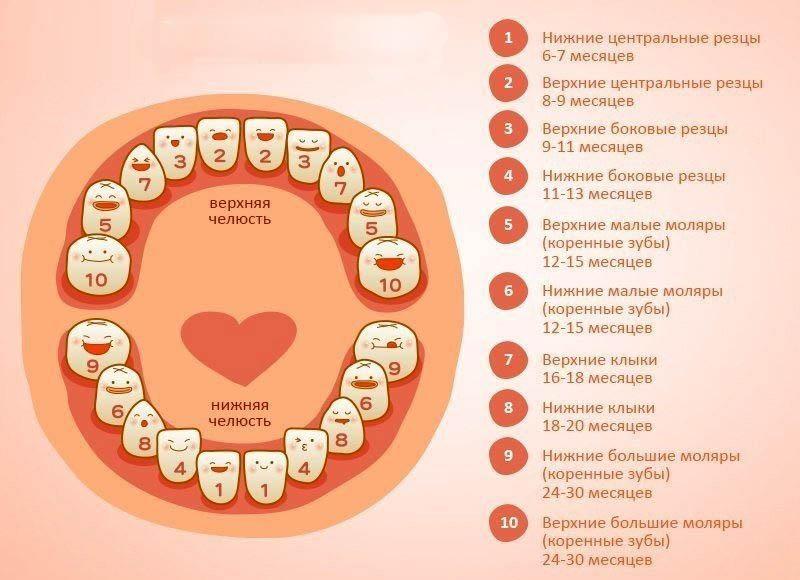 Как лезут зубы схема фото 306